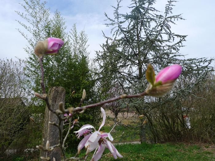 Mars-Magnolias