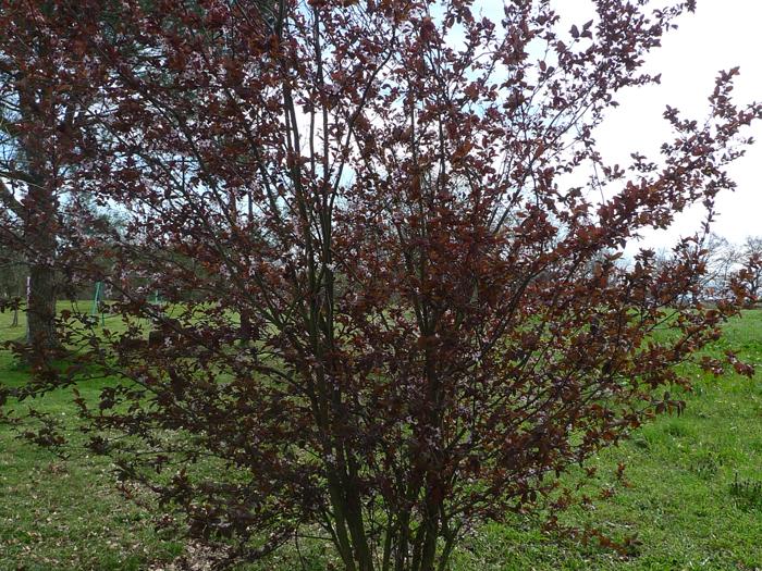 Mars-Prunus