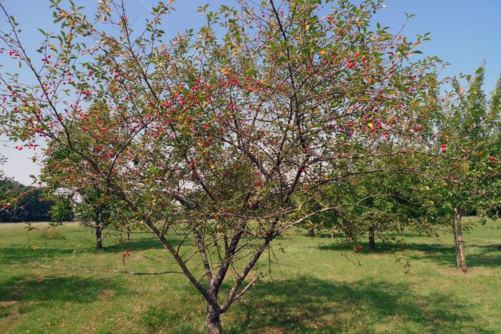 Juiilet-cerisier