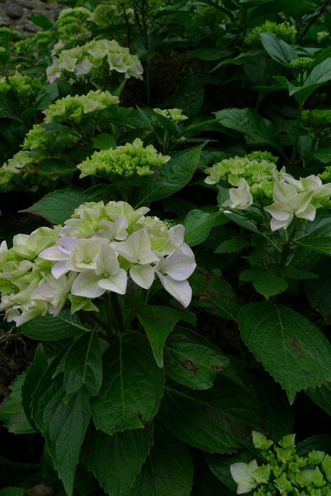 Juin-Hortensia1