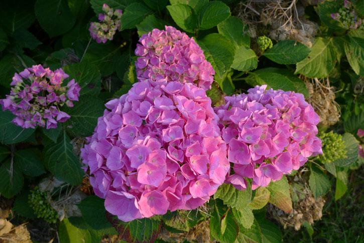 Juin-Hortensia3